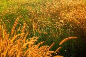gandum